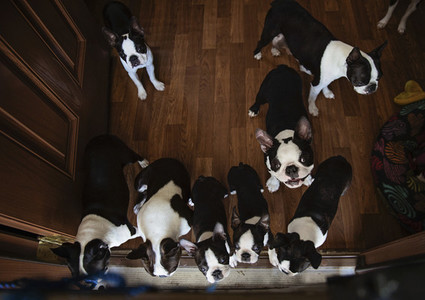 Boston Terrier puppies looking up at camera
