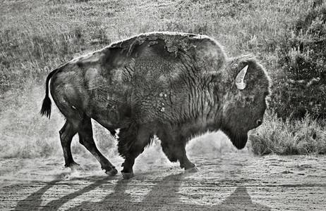Bison walking in dirt along roadside