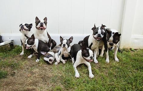 Boston Terrier puppies in grass