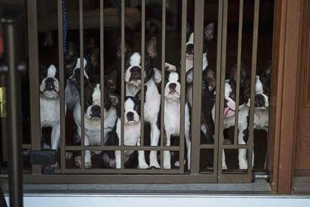Portrait curious Boston Terrier puppies behind gate