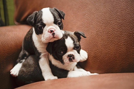 Cute Boston Terrier puppies cuddling on leather chair