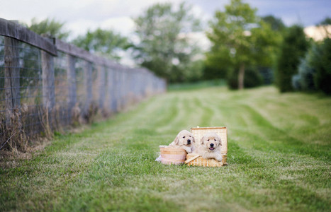 Golden Retriever puppies in picnic baskets in grass field