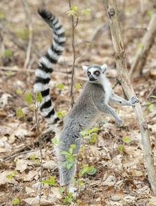 Lemur leaning against tree