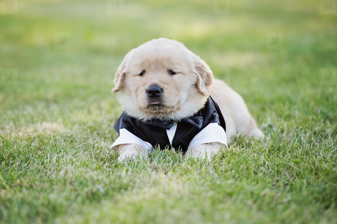 Photos Golden Retriever Puppy In Tuxedo Cost 213088 Youworkforthem