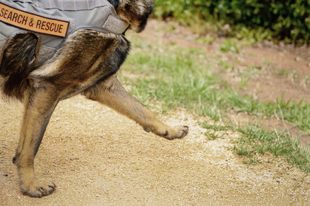 Search and rescue dog marching