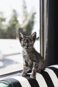 Portrait cute wide eyed gray kitten in window