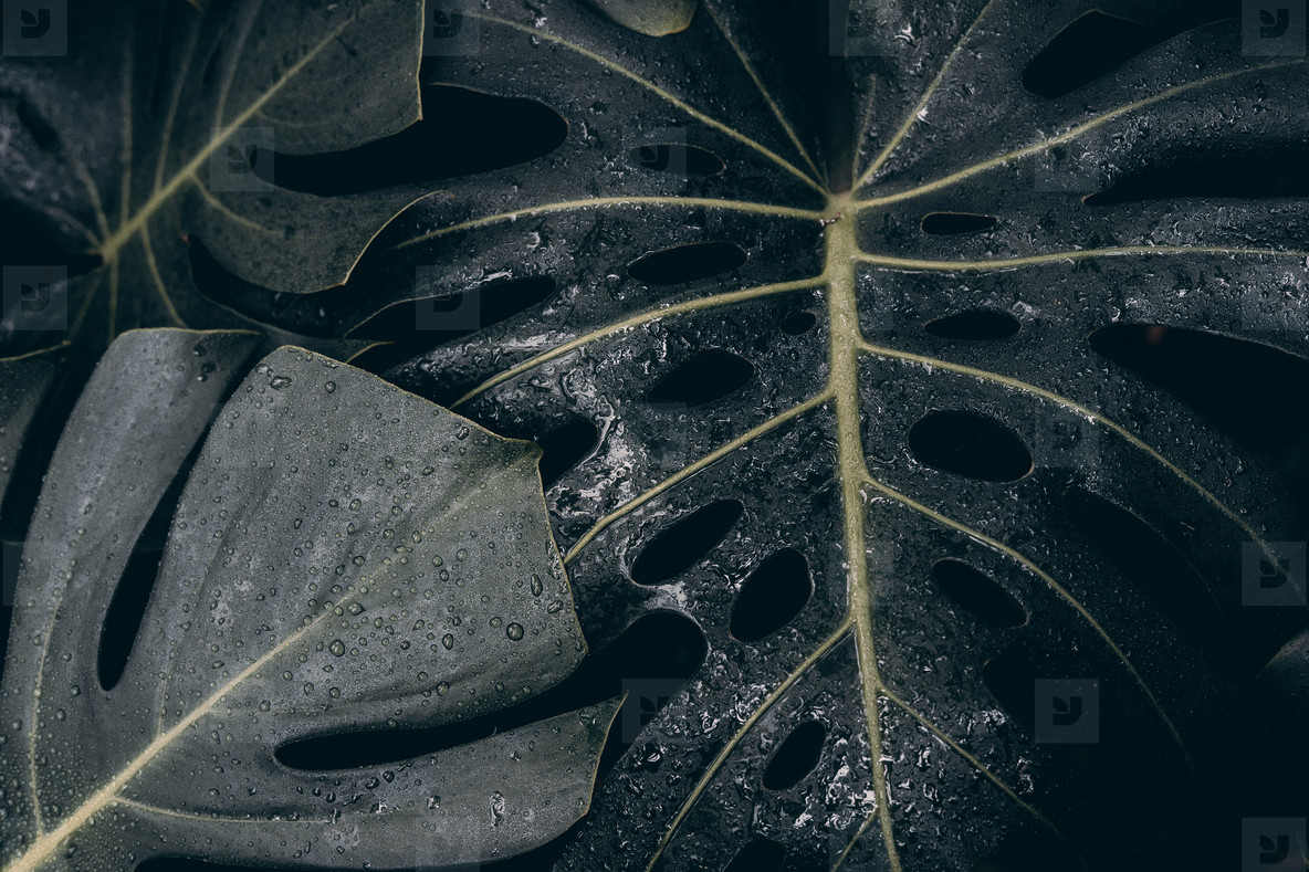 dark tropical leaf with raindrops