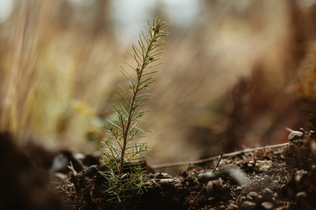 Single pine seedling on plantation