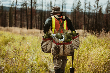 Forest ranger with bag full of pine seedlings for reforestation