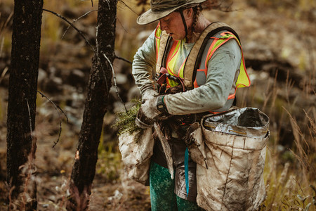 Woman planting pine seedling in forest