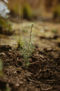 Newly planted pine seedling in forest