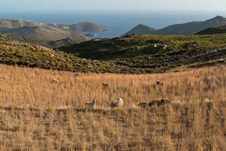 A herd of sheep on the mountain