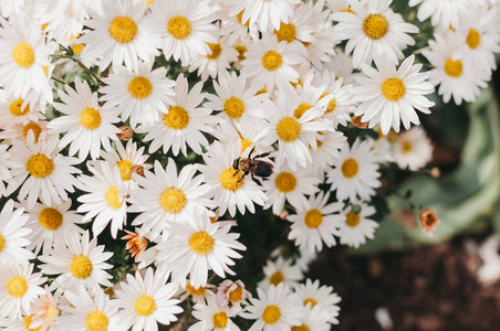 Daisies and Bee