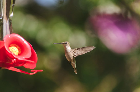 Cute Ruby Throated Hummingbird
