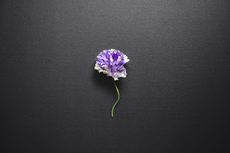 Flat lay composition with fresh purple flower over a black canvas