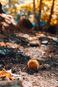 Closeup of chestnut in Spanish forest with warm colors