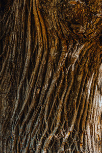 Detail of the bark of an ancient chestnut