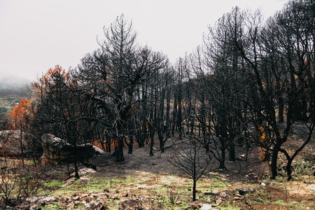Burned trees after a forest fire