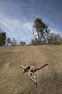 Dead kangaroo carcass on sunny cracked hillside Australia