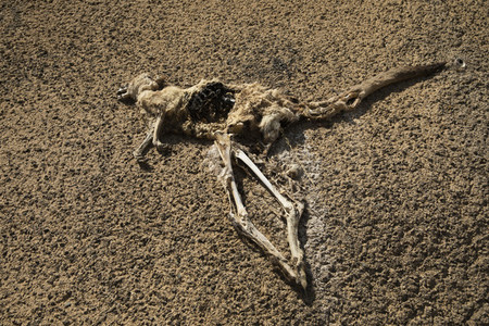 Dead kangaroo carcass on arid ground Heathcote Australia