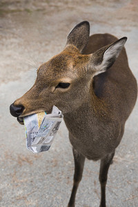 Close up deer chewing on tourist map Nara Park Nara Japan