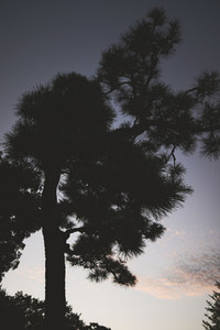 Silhouetted tree against sky at dusk