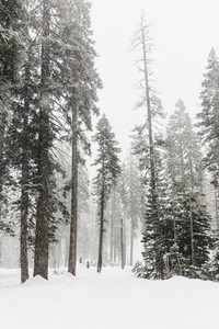 Snow covered trees Yosemite National Park USA