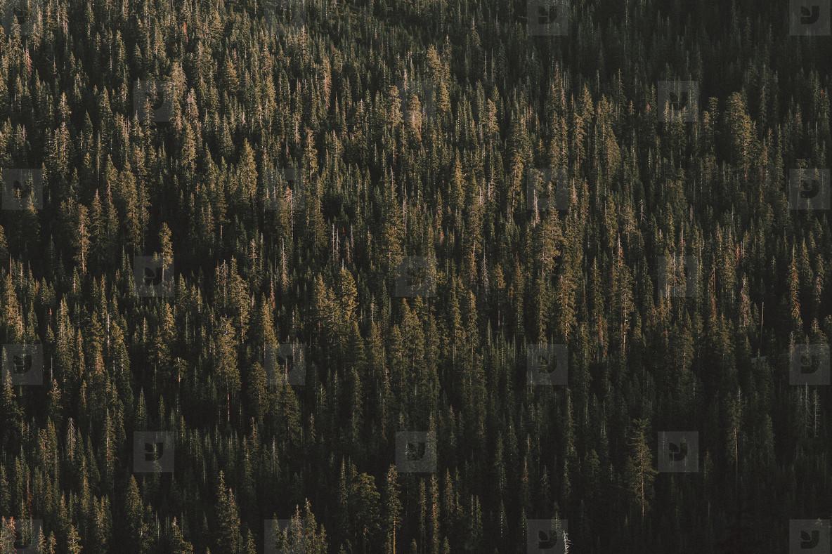 Sunlight over green forest trees Redding California  USA