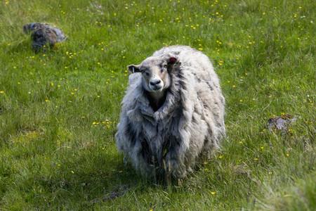 Portrait wooly sheep in summer field Faroe Islands