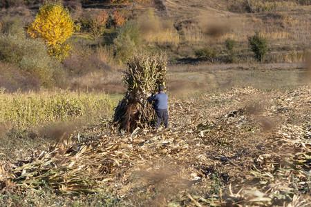 Farmer making corn stack in sunny rural field Albania