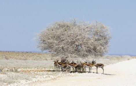 Herd of springbok standing in shade under lone tree Namibia