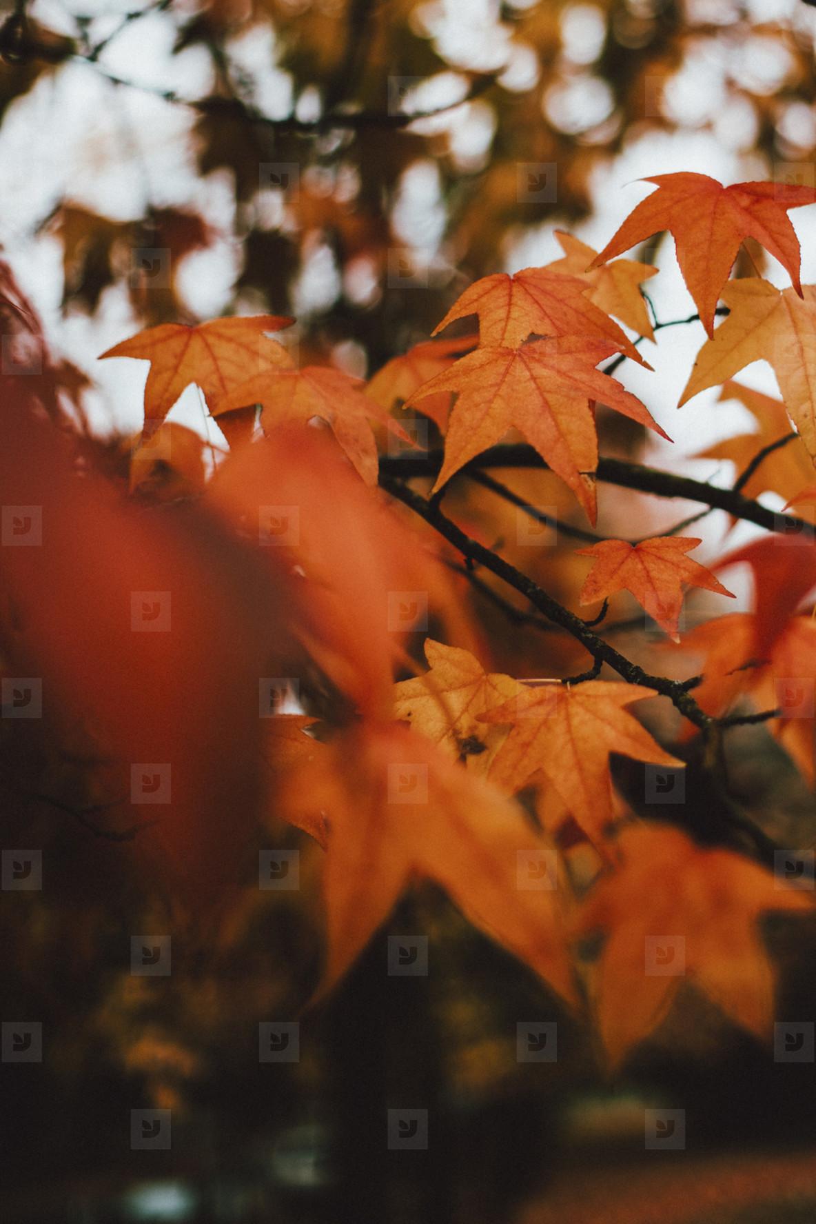 Close up orange autumn leaves on branch