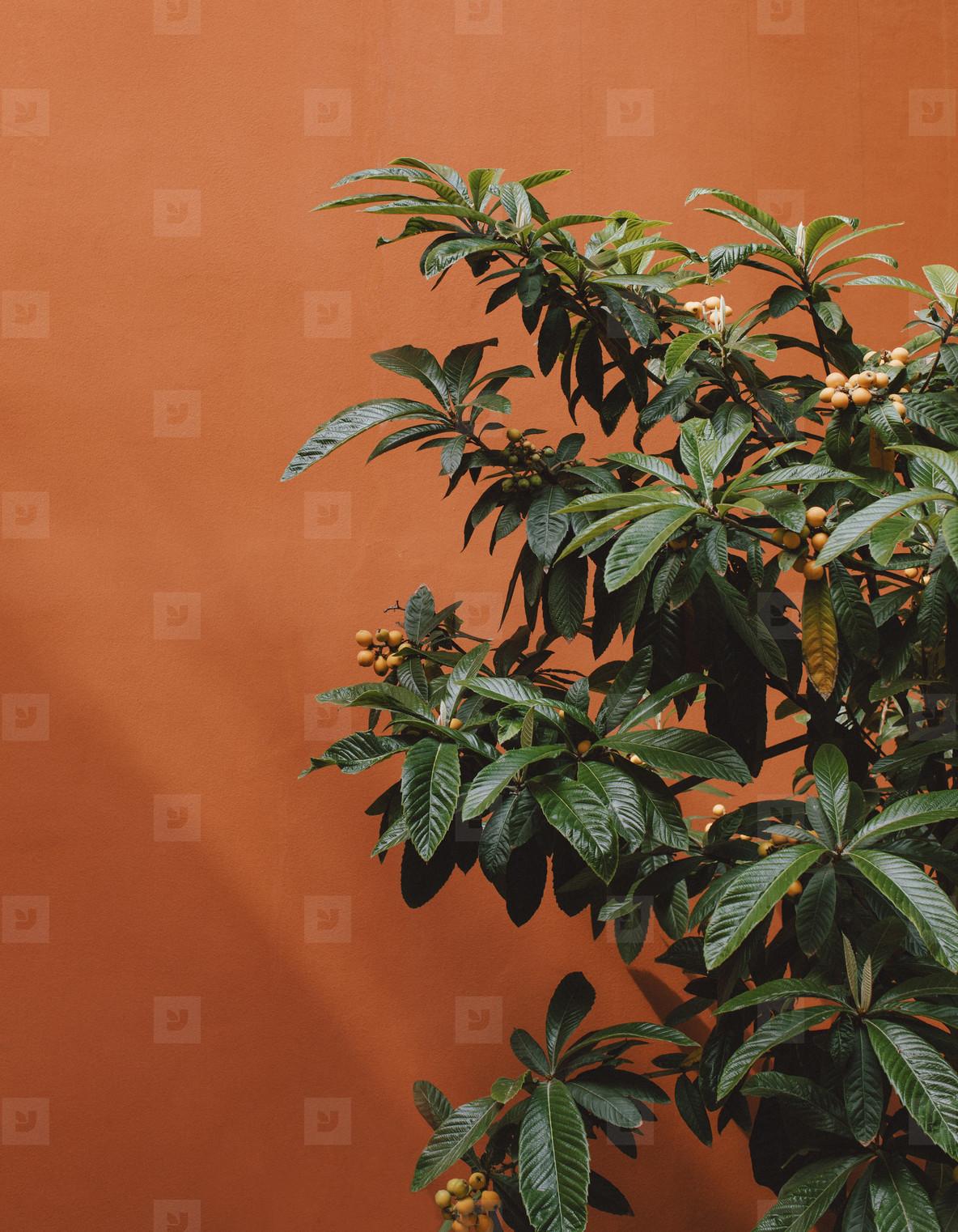 Close up berries growing on bush against orange wall