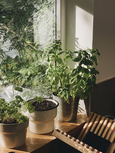 Potted plants growing in sunny window