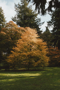 Radiant orange autumn tree in park
