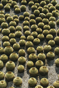 Abundance of barrel cactus