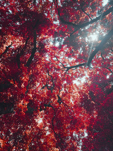 View from below idyllic sunny vibrant red autumn leaves on tree