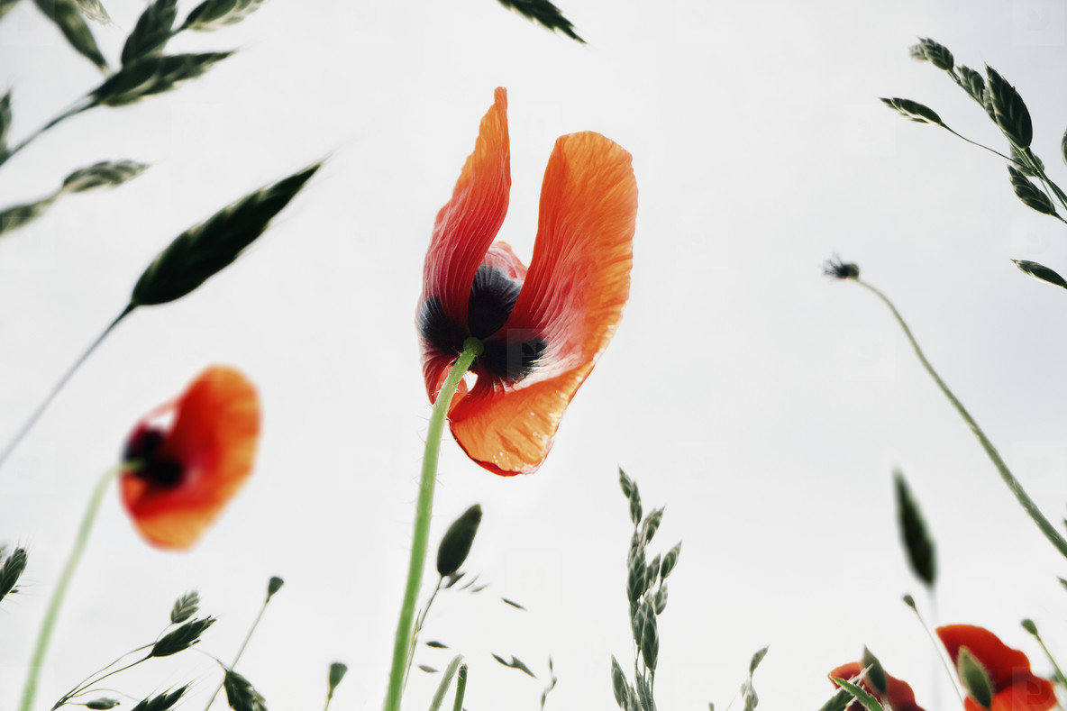 Close up red poppy