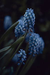 Close up blue grape hyacinth