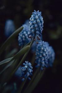 Close up blue grape hyacinth