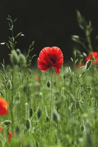 Red poppy growing in sunny field