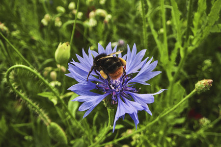 Close up bumblebee on sunny purple cornflower