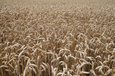 Wheat growing in sunny idyllic field