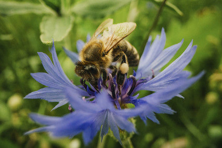 Close up bumblebee pollinating blue cornflower
