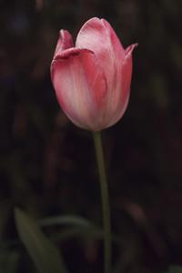 Close up beautiful pink tulip