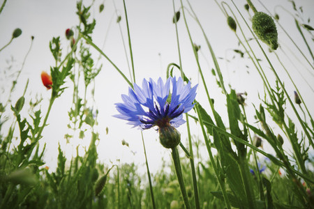 Blue cornflower growing in field
