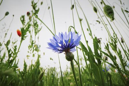 Blue cornflower growing in field