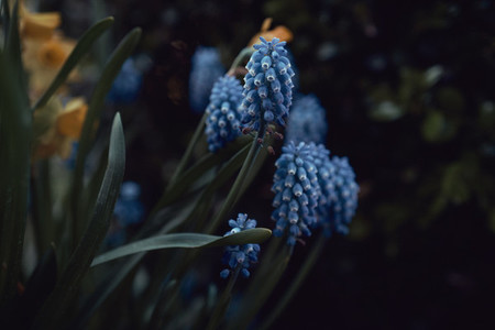 Blue grape hyacinth