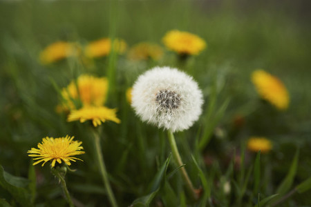 Close up dandelions growing