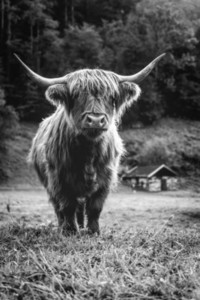 Scottish Highland Cow 1